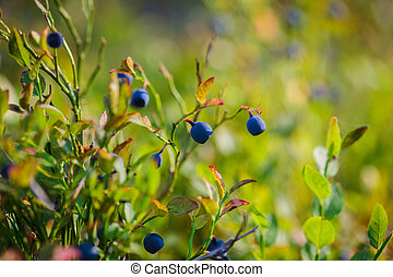 Bilberry, whortleberry or European blueberry (Vaccinium...