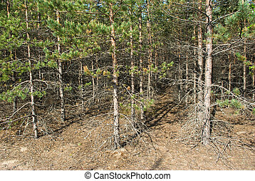 Pine forest plantations in sunny summer day