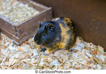 small pet guinea pig in a cage - Image small pet guinea pig...