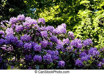 rhododendron - blossoming rhododendron in june