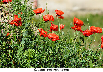 Red poppy flower - Beautiful red poppy flower and grass in...
