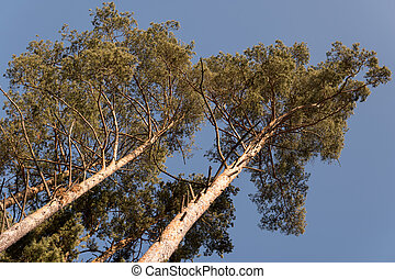 pine trees during winter time over clear blue sky