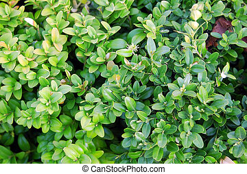 Buxus sempervirens plant - Close up of green buxus...