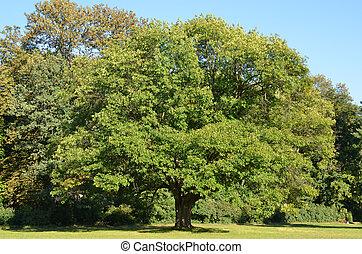 Green oak tree - Greeen oak tree in the park over blue sky