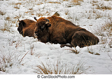 Wisent laying in the snow - Wisent in winter laying in the...