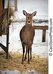roe deer in Reserve Bialowieza Forest, Belarus - roe deer in...