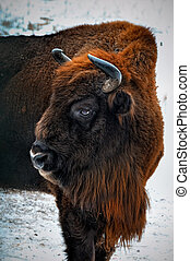 portrait of European bison in winter forest. - Wisent in...