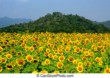 field of blooming sunflowers select focus with shallow depth...