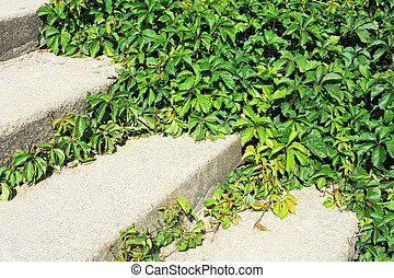 Vine leaves on stairs - Green vine plant leaves on stone...