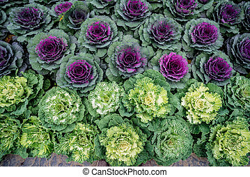 Top view of color cabbage