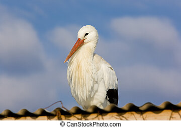 storks breeding in Alsace - storks breeding (Centre de...