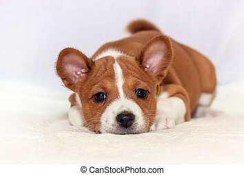 beautiful, cute puppy dogs not barking African dog breed...