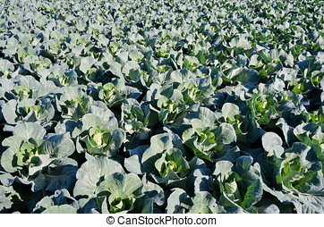 pointed cabbage field