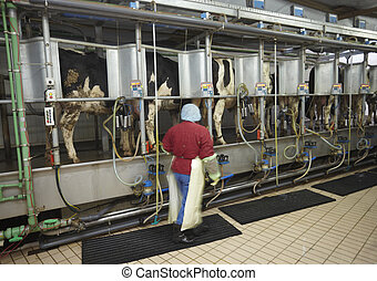 cow farm agriculture milk automatic milking system -...