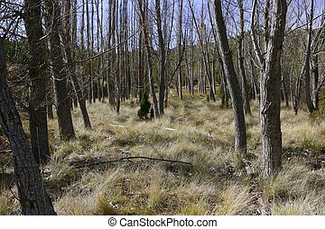 Autumn poplar trees without leaves on a dried grass