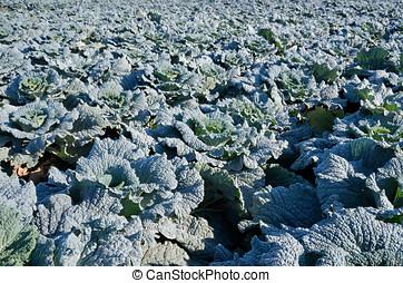 savoy cabbage field