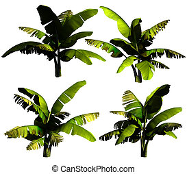 Banana tree. - Banana tree on a white background. 3D...
