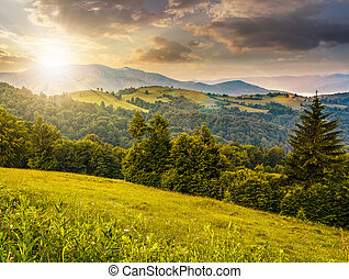 spruce forest on a mountain hill side at sunset - spruce...