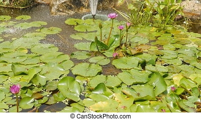 Purple pink water Nymphaea in a pond with a fountain. Water...