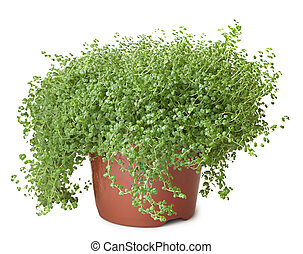 Potted green plant on white background - Soleirolia - Potted...
