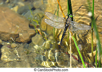 Colorful dragonfly in the water. Aran valley - Colorful...