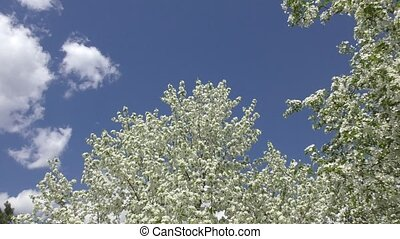 Flowers of the Apple-tree white color spring morning