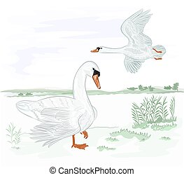 Swans on the lakeshore vector.eps - Swans water birds on the...