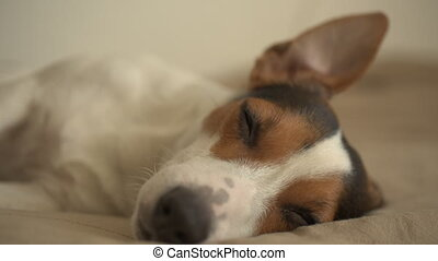 Small dog lying on the bed - Small dog breed Jack Russell...