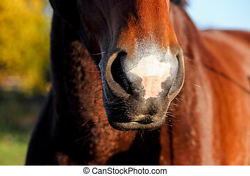 Close up of horse nose and mouth - Close up of cute bay...