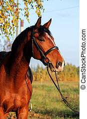 Bay horse portrait with bridle in summer