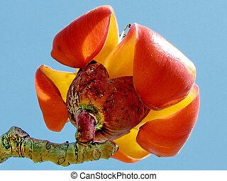 Ramat Gan Wolfson Park Bombax ceiba flower March 2012 -...