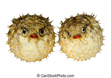 Puffer Fish - Isolated macro image of preserved puffer fish....