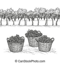 Vineyard and rape branches and grapes in basket. - Vineyard...