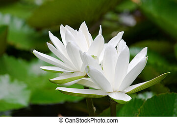 White water lilies - The blooming detail of white water...