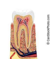 Tooth on white background.