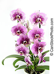 Orchid ( Phalaenopsis ) in pot isolated on white background.