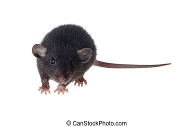 black rat of breed Dumbo - Portrait of a small black rat of...