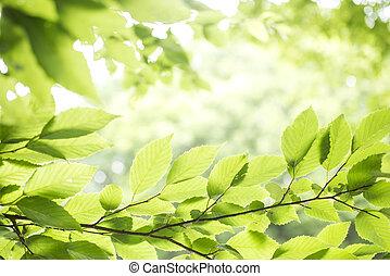 Fresh green leaves - Fresh green carpinus tschonoskii leaves...