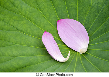 Pink lotus flower petals on a green leaf