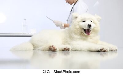 Veterinarian examining dog on table in vet clinic, and uses...