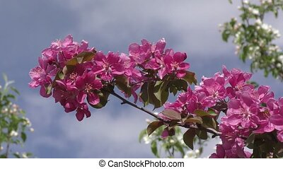 Apple Blossom pink color swinging in the wind spring morning
