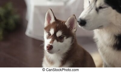 Two dogs and Husky puppy indoors