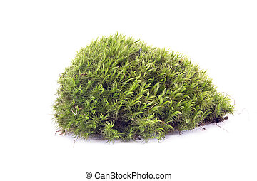Hummock on the white - The plant sphagnum moss on a hummock