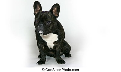 dog French bulldog sitting on a white background