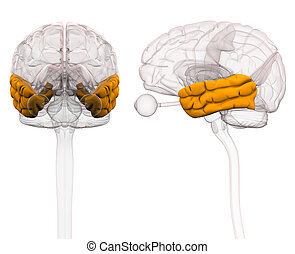 Temporal Lobe Brain Anatomy - 3d illustration