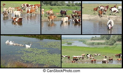 farm animals on river split screen
