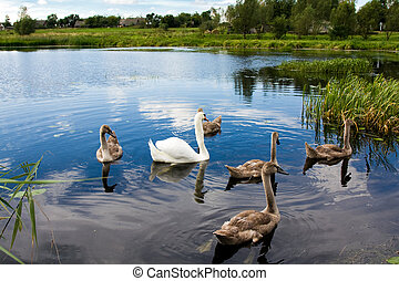 Swans - Swimming on water white and gray swans a family of...