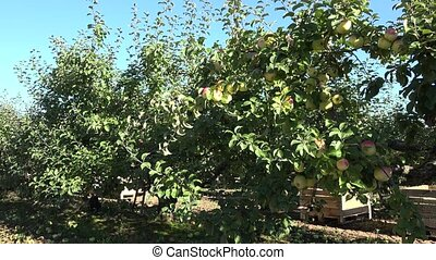 Fall harvest: apple trees row with boxes for ripe fruits sunny landscape. 4K