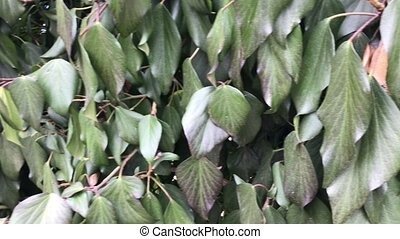 Green leaves on the wall background - Green leaves on the...