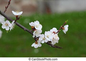 beautiful apricot blossom